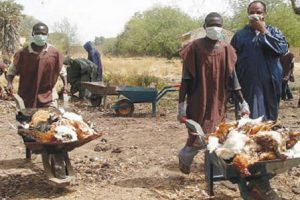 Poultry workers carting away infected birds